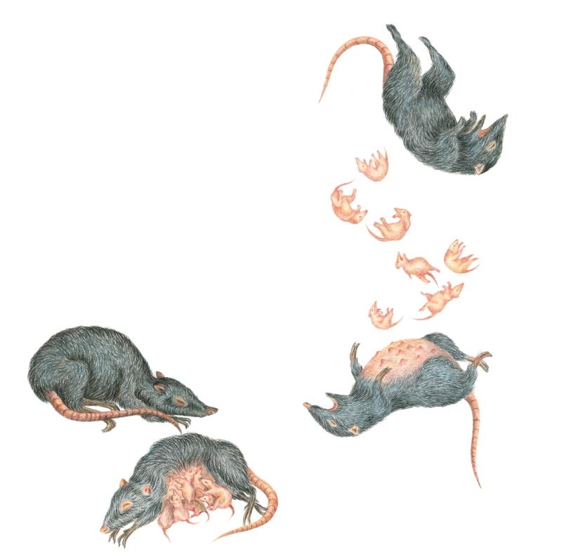 La-Meute-sans-dessus-dessous-Rat